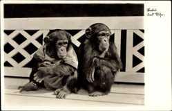 Postcard Halle an der Saale, Babu und Suse, Schimpansen im Zoologischen Garten