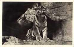 Postcard Hamburg Eimsbüttel Stellingen, Carl Hagenbeck's Tierpark, Sibirischer Tiger