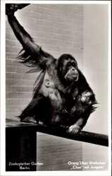 Postcard Zoologischer Garten Berlin, Orang Utan Weibchen Cleo mit Jungem