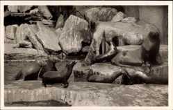 Postcard Hamburg Stellingen, Carl Hagenbecks Tierpark, Seelöwen, Seebären
