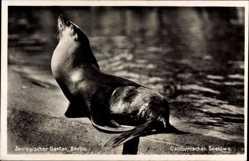 Postcard Berlin Tiergarten, Zoologischer Garten, Kalifornischer Seelöwe