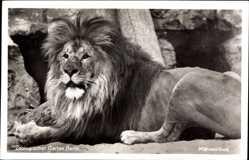 Postcard Zoologischer Garten Berlin, Ausgewachsener Mähnenlöwe im Gehege
