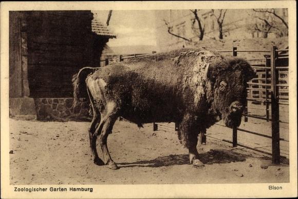 Ansichtskarte / Postkarte Hamburg, Bison Im Zoologischen Garten, Wisent