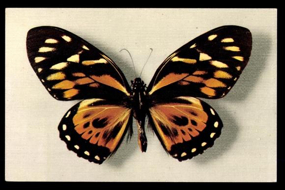 ansichtskarte postkarte orange schwarz wei er schmetterling papilio zagreus. Black Bedroom Furniture Sets. Home Design Ideas