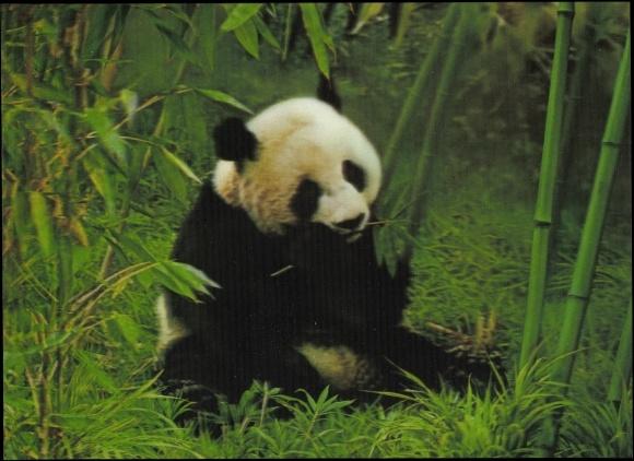 3 D Postcard Panda Beim Essen Auf Der Wiese Bambus Akpool Co Uk