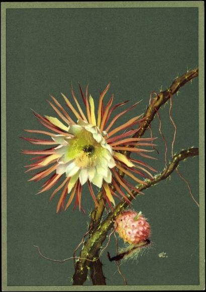 ansichtskarte postkarte k nigin der nacht cereus grandiflorus mill kaktusbl te mexiko. Black Bedroom Furniture Sets. Home Design Ideas