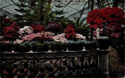 Azaleen im Blütenflor